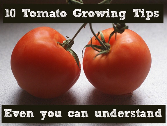 10 tomato growing tips
