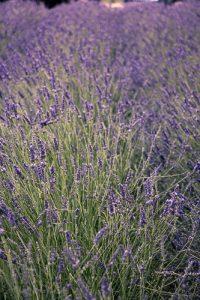 Campos de Lavanda - O que fazer em Avignon? © Imagina na Viagem