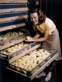 Smiling young woman holds chick above chicken-filled incubator drawer in Arkansas, July 1944.
