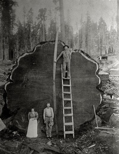 Loggers and the giant Mark Twain redwood cut down in California, 1892.