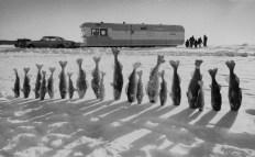 Frozen walleye pike kiss the snow in Mille Lacs, Minnesota, 1959.