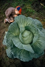 A little boy is dwarfed by a supersized cabbage in Matanuska Valley, Alaska, July 1959.