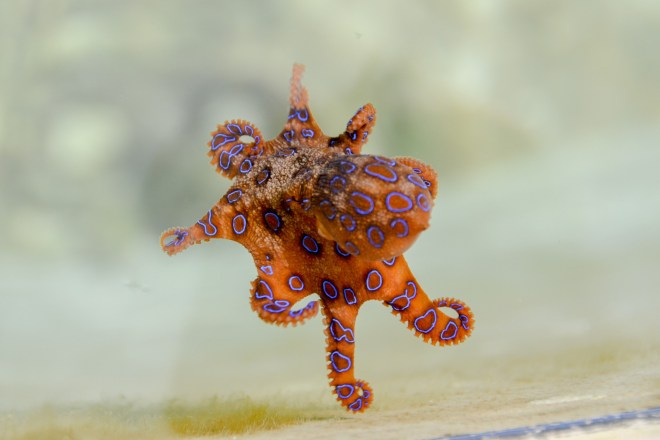 Rock-Pool-Blue-Ringed-Octopus-Barry-Brunswick-Blog
