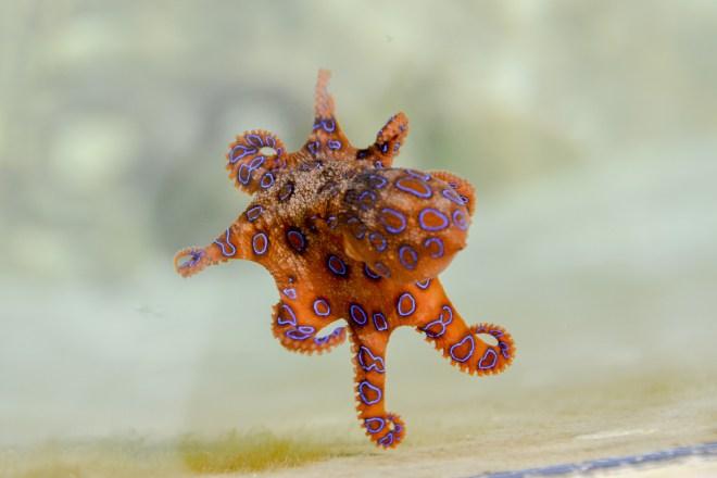 Rock-Pool-Blue-Ringed-Octopus-Barry-Brunswick-Blog