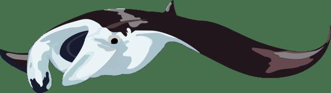 Barry-Brunswick-Fun-Facts-About-Sharks-Manta-Ray