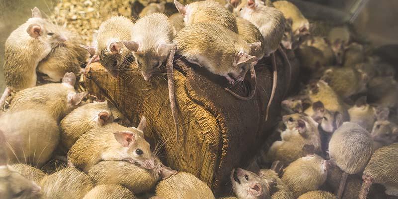 rodent-control-rat-mice-kenya