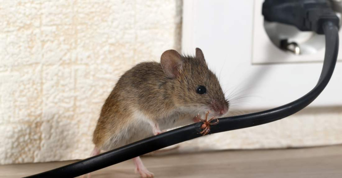 pest-control-services-rodent