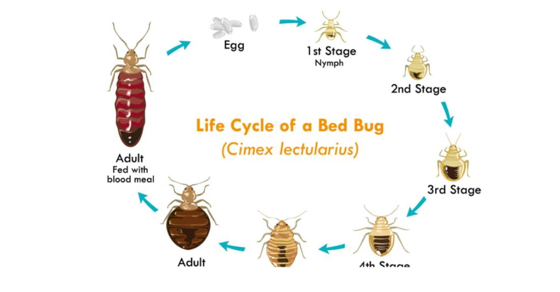 fleas-bed bug-differences