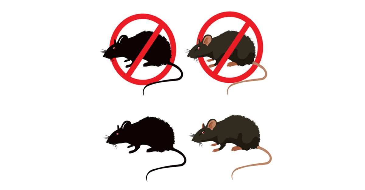 The Difference Between Rats and Mice - Why it Matters