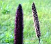 inflorescente 2
