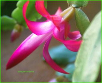 Floare de Schlumbera