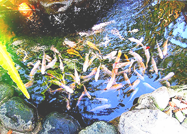 Koi pond at Casitas Bed and Breakfast