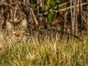 Wild Cat 3