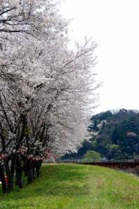 矢田川河口の桜