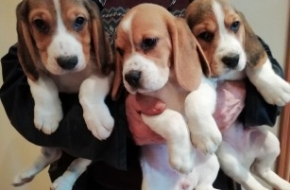 Beagle puppy 1 girl and 1 boy available for adoption fee