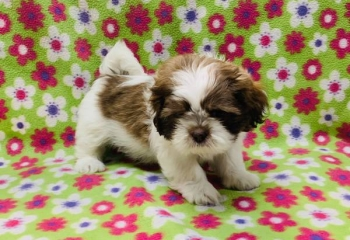 Adorable Female Shih Tzu Puppy