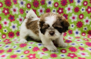we have two healthy Shih-Tzu puppies