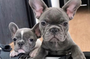Top Quality French Bulldog puppies.