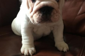 cute bulldog puppy for adoption