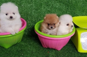 Lovely miniature Pomeranian puppies for sale