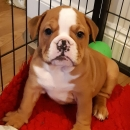 Great English Bulldog Puppies For Rehoming