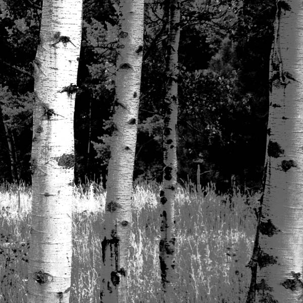 black and white photo of aspen grove
