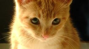 Lenguaje del gato