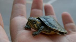 Tortugas con caparazón blando
