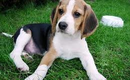 El Beagle, un pequeño perro de caza