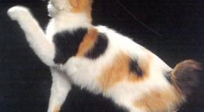 Un gato japonés muy amigable