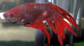 Las diferentes enfermedades de los peces