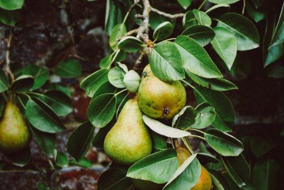 tips simpan apel dan pir