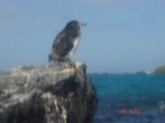 Penguin at the Galapagos