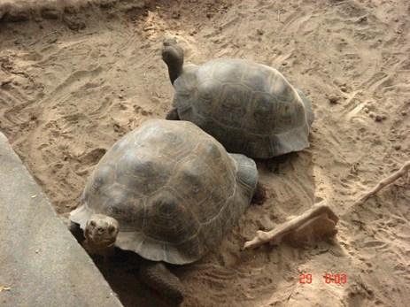 Turtles at a sanctuary Galapagos