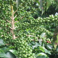 Myths about weight loss properties of green coffee