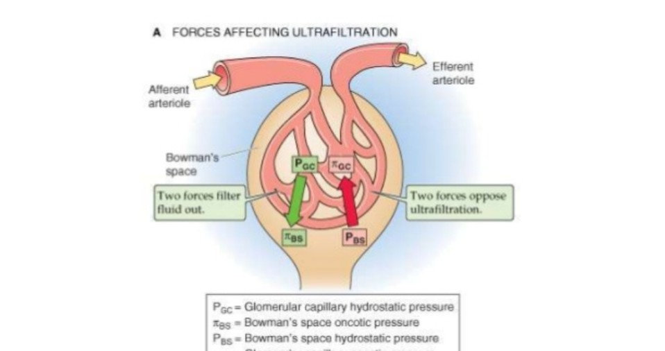 Glomerular Filtration Rate - imedscholar