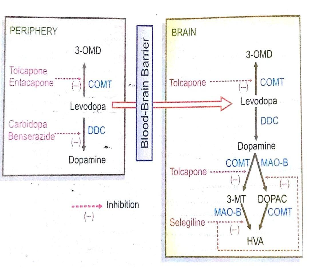 Metabolic pathways of Levodopa in brain