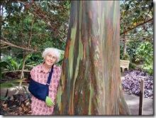 Rainbow Eucalytpus tree honolulu-hawaii-imelda-dickinson (1)