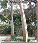 Rainbow Eucalytpus tree honolulu-hawaii-imelda-dickinson (2)
