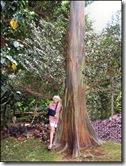 Rainbow Eucalytpus tree honolulu-hawaii-imelda-dickinson
