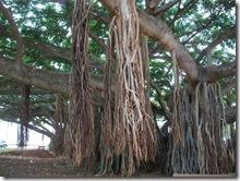 banyan tree-honolulu-hawaii (2)