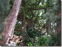 plants-trees-shrubs-flowers-hawaii-honolulu-zoo (6)
