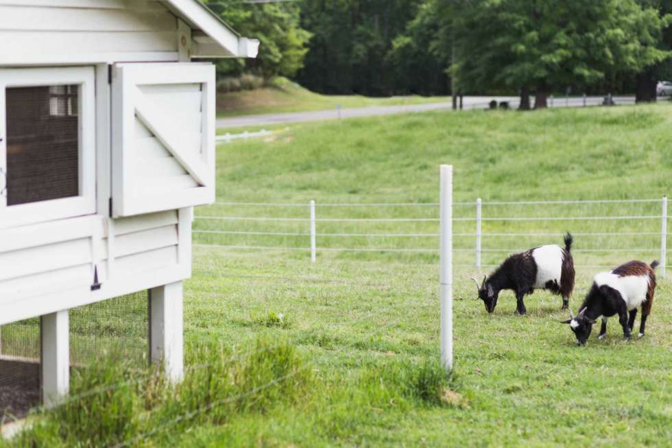 Local Love: 10 Best Places to Photograph in North Carolina - I'm Fixin' To - @mbg0112 | Best Places to Photography in North Carolina by popular N.C. lifestyle blog, I'm Fixin' To: image of some goats at The Bealties at Fearrington Village.