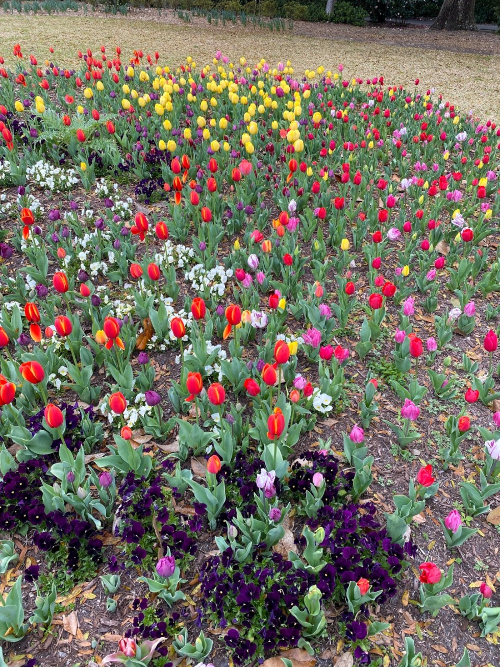 A Spring Weekend in Wilmington, NC: the Best Things to Do - I'm Fixin' To - @imfixintoblog |Weekend in Wilmington by popular NC travel blog, I'm Fixin' To: image of purple, pink, red and yellow tulips.
