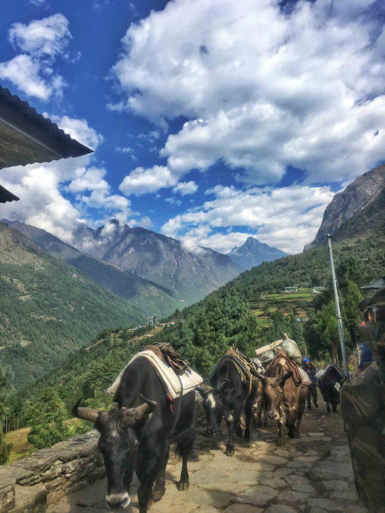 Yaks near Lukla, Everest Base Camp Trek