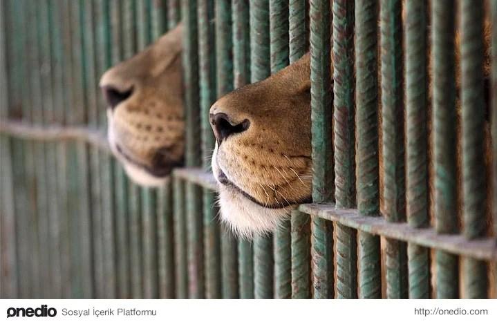 Ancak bu karara rağmen anlaşmalı olarak açılan iki hayvanat bahçesini kapatamayacaklarını üzücü bir şekilde dile getirdiler.