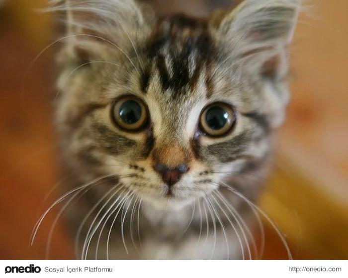 Avustralya 5 Yılda 2 Milyon Kediyi Öldürecek
