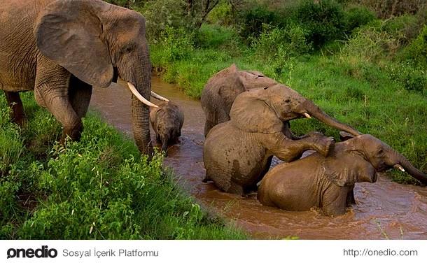 Bir fil hortumunda, yaklaşık olarak 50 bin adet kas bulunur.