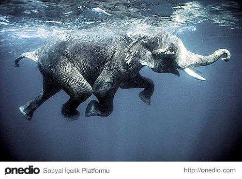 İnsanlar dışında çeneleri olan tek memeli fillerdir.