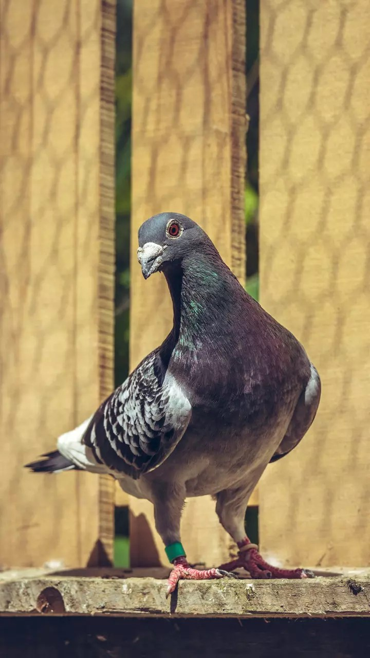 Ce Que Detestent Les Pigeons : detestent, pigeons, Nourrir
